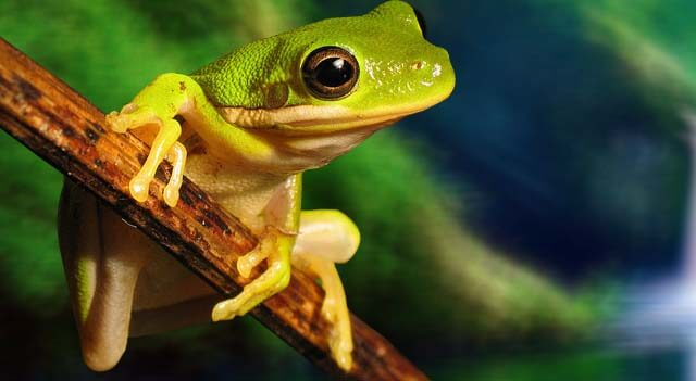 Types Of Frogs - The American Green Tree Frog