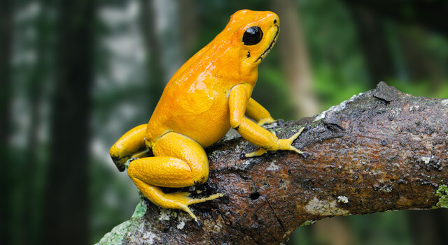 Types Of Frogs - Golden Tree Frog