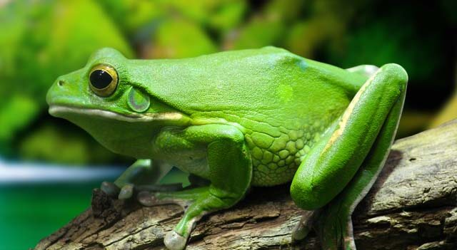 Types Of Frogs - Green Frog