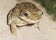 Indus Valley Toad
