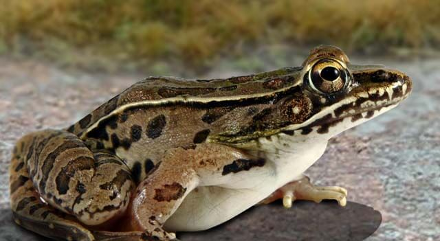 Types Of Frogs - Leopard Frog