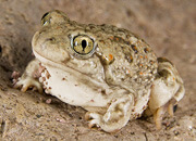 New Mexico Spadefoot