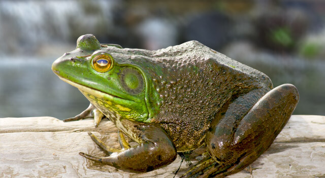 Types Of Frogs - The American Bullfrog