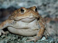 Toad Facts And Pictures