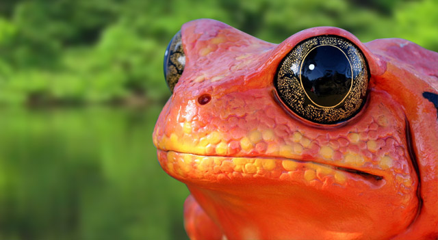 Types Of Frogs - Tomato Frog