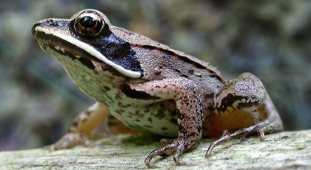 Types Of Frogs - Wood Frog