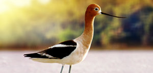 American Avocet In Water