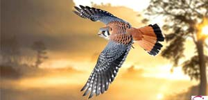American Kestrel Flight