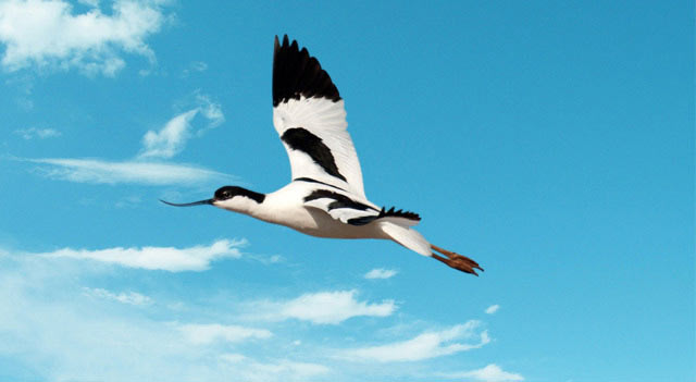 Avocet Bird Flying