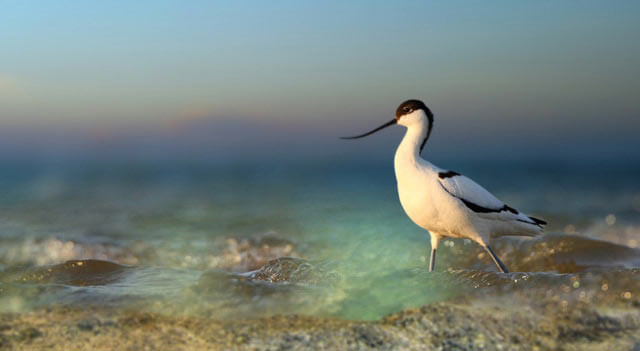 Avocet In water