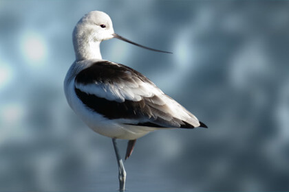 Avocet Bird Eye View