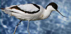 Avocet Bird Mouth View
