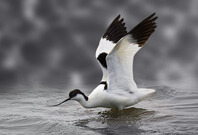 Avocet Bird Wingspan