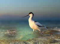 Avocets Facts And Pictures