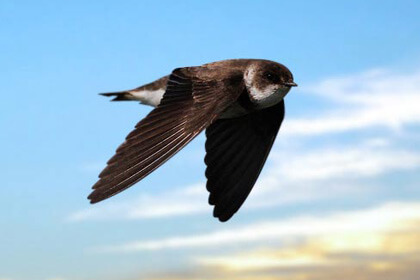 Bank Swallow Flying On Sky
