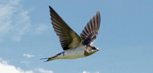 Bank Swallow Flying