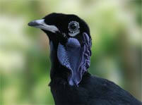 Bare Necked Fruitcrow Facts And Pictures