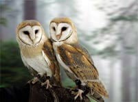 Barn Owl Facts And Pictures