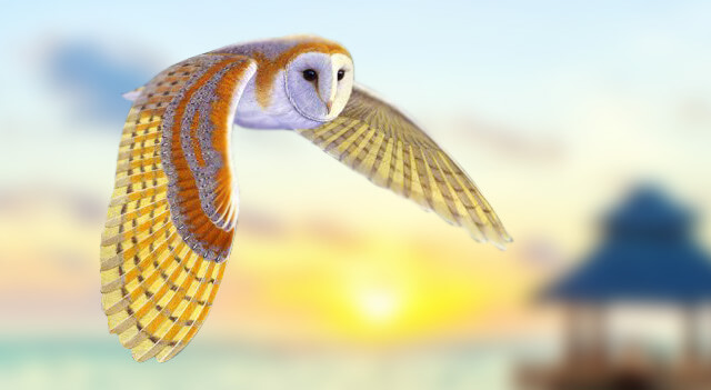 Barn Owl Flying On Sky