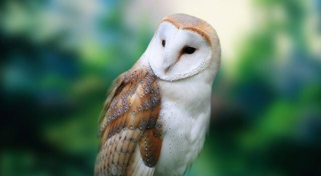 Barn Owl Facts, Pictures, Habitat And Diet Information