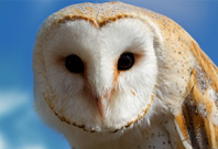 Barn Owl Mouth View