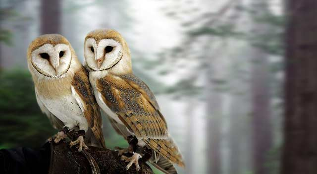 Barn Owl On Wood