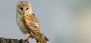 Barn Owl Sitting On Wood