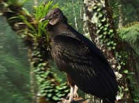 Black Vulture Facts And Pictures