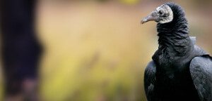 Black Vulture Beak View