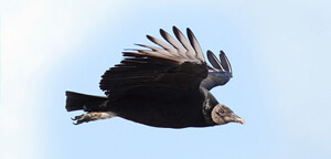 Black Vulture Bird Flying On Sky