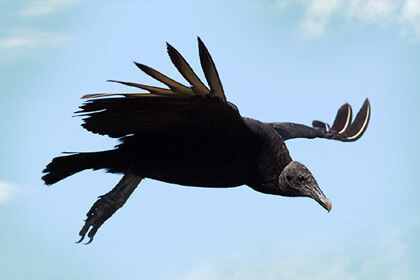 Black Vulture Bird Wingspan