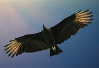 Black Vulture Flying On sky