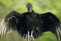 Black Vulture Gazzing