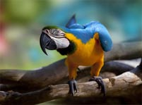 Blue And Yellow Macaw Facts And Pictures