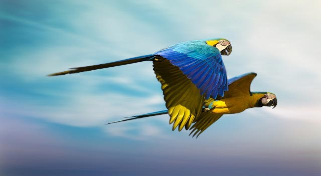 [Image: blue-and-yellow-macaw-flying-sky.jpg]