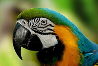 Blue And Yellow Macaw Mouth View