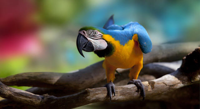 Blue And Yellow Macaw On Wood