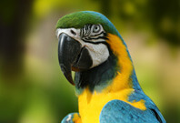 Blue And Yellow Macaw Picture