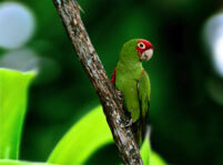 Brown Parakeet Facts And Pictures