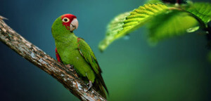 Brown Parakeet Gazing
