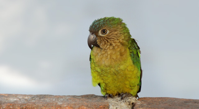 Brown Parakeet Gazzing