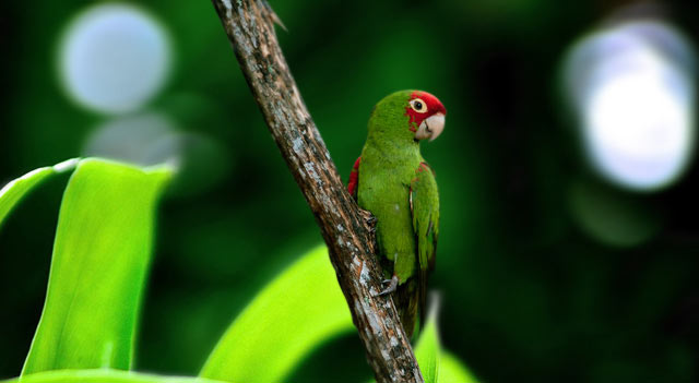 Brown Parakeet On Wood