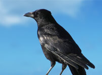 Crow Bird Facts And Pictures
