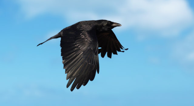 Crow Flapping Wings During Flight Picture