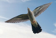 Cuckoo Bird Flying In Sky