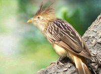 Cuckoo Bird Facts And Pictures