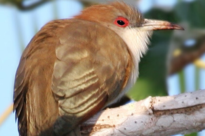 Cuckoo Bird Sitting On Wood Eye View