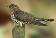 Cuckoo Bird Sitting On wood Full View