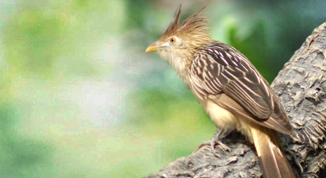 Cuckoo Bird Facts Pictures