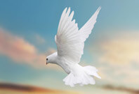 Dove Flying View Picture